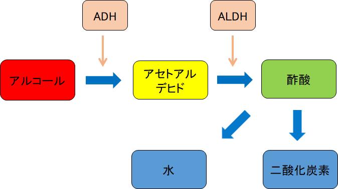 アルコールの分解の様子を簡易的に図にしました。