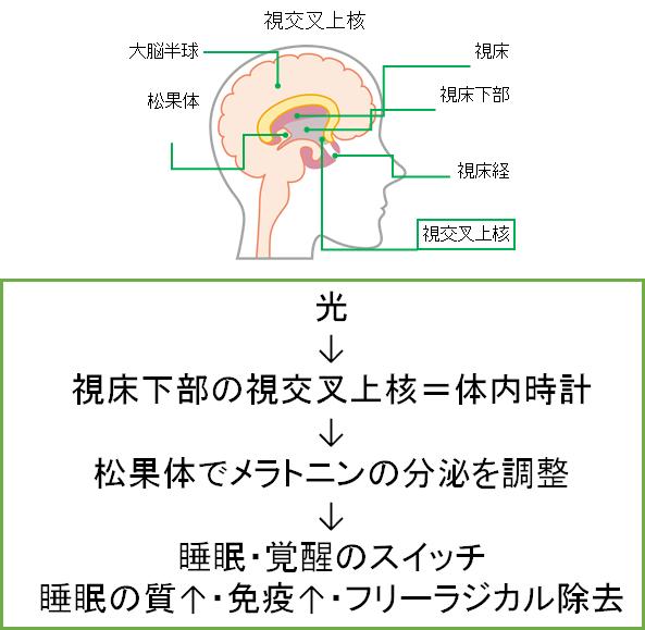 メラトニンの分泌と役割